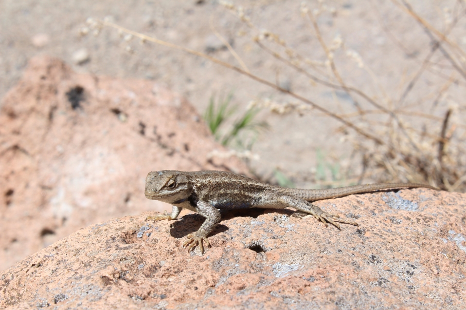 Fence lizard, Bandelier National Monument, New Mexico