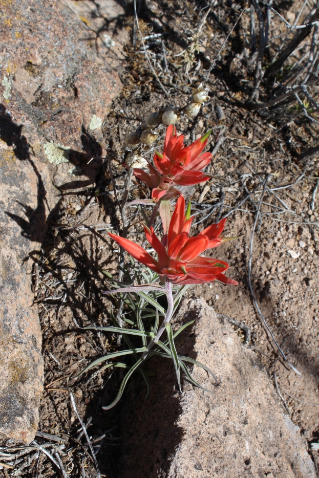 Indian Paintbrush, Tsankawi, New Mexico